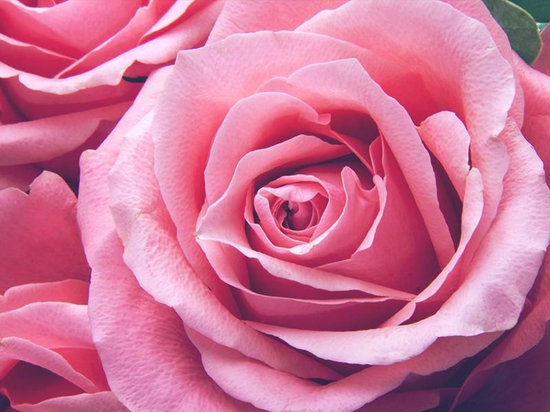 Rose rosa vivai toppan for Rose color rosa antico